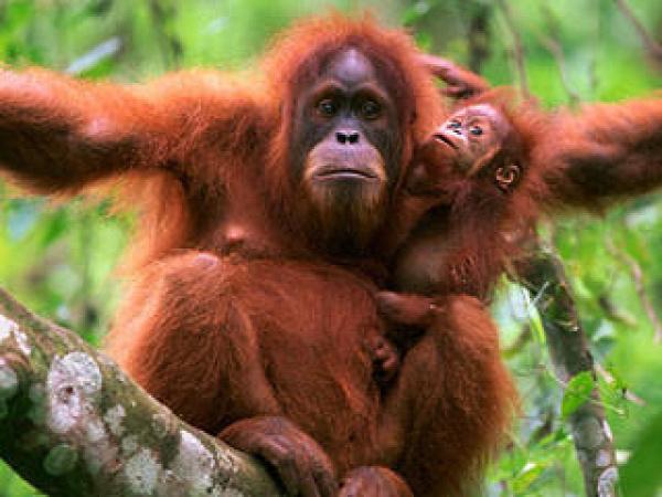 orangutanok világnapja állatvédelem veszélyeztetett állatok