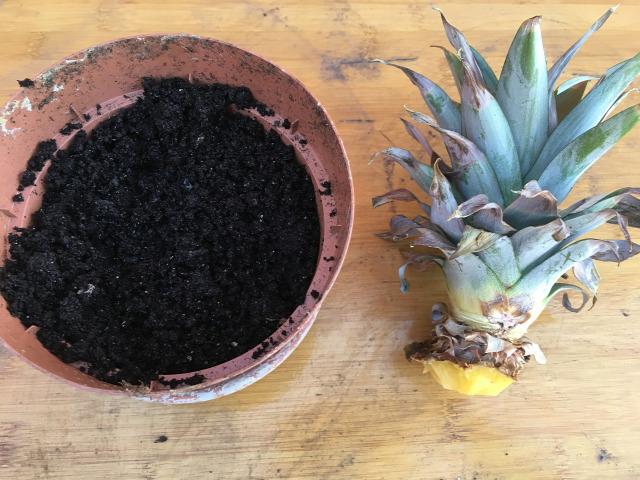 ananász gyökereztetés egzotikusok