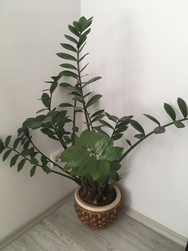szobanövény zamioculcas igénytelen