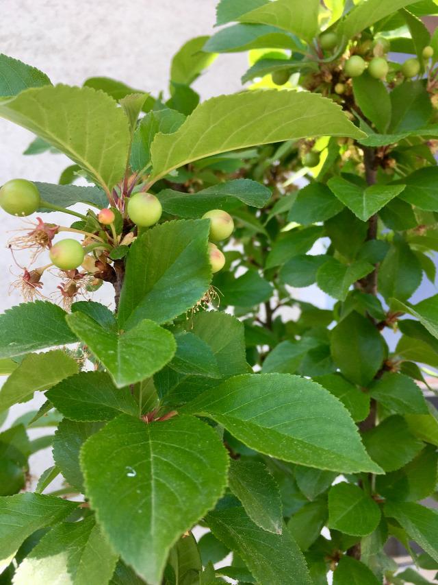 cseresznye gyümölcsfák
