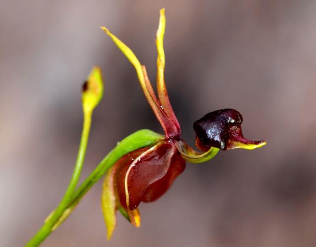 orchidea érdekesség