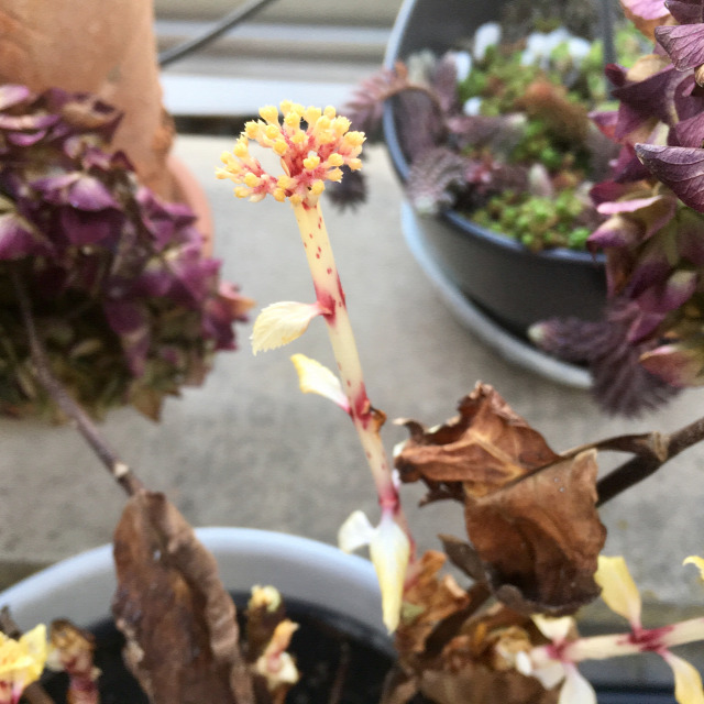 hortenzia virágok teleltetés
