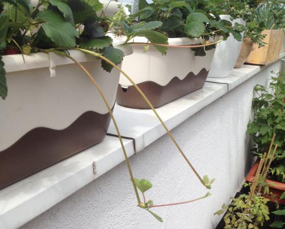 indákat növeszt a szamóca