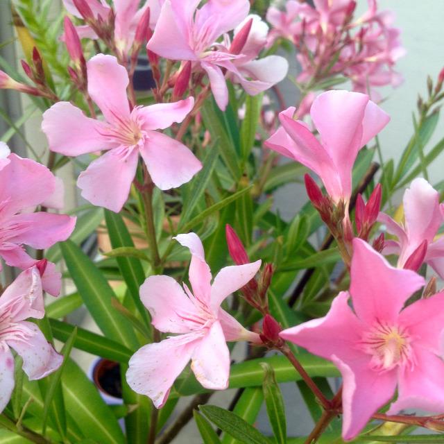 virágzó leander balkonon