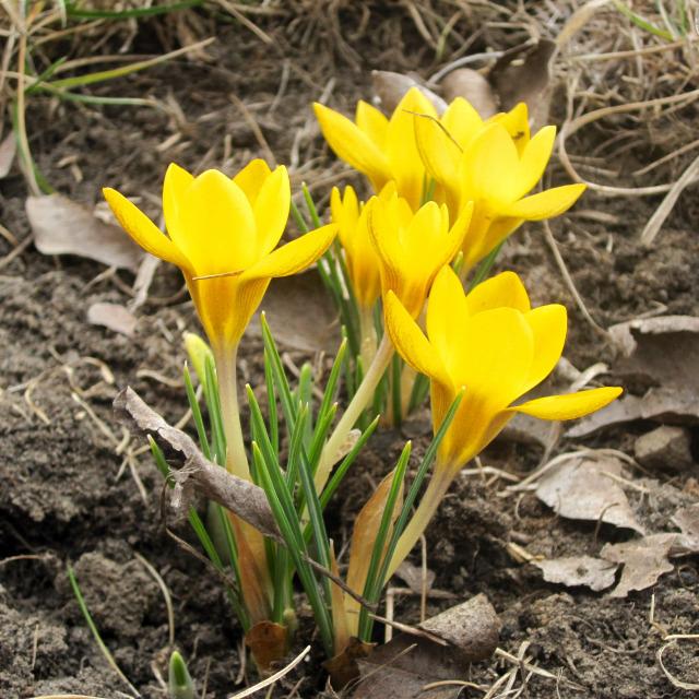 tulipán hagymások virágok tél