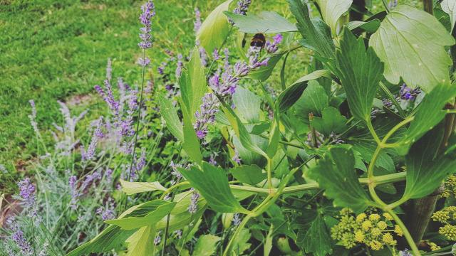 lestyán fűszernövény praktika