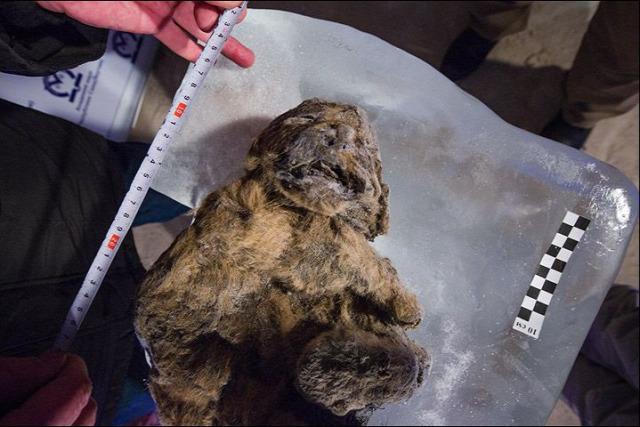 múmia kihalt oroszlán klónozás