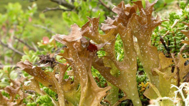 izlandi zúzmó gógynövények C-vitamin népi gyógymódok méz citrom influenza