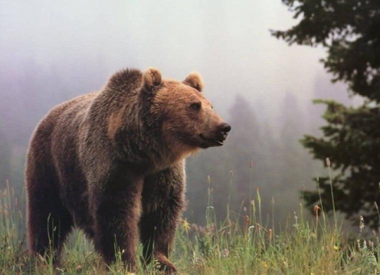 hírek vadvilág medve Hargita Erdély Románia