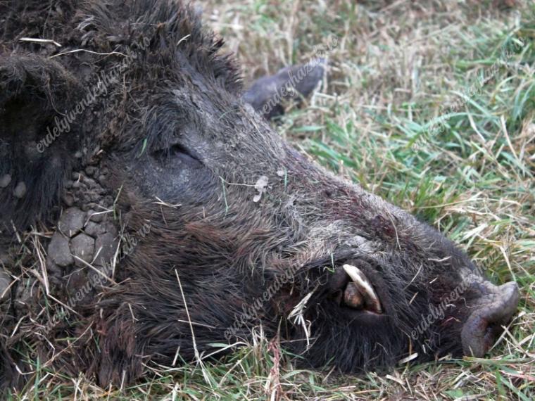 hírek afrikai sertéspestis Nébih Európai Bizottság
