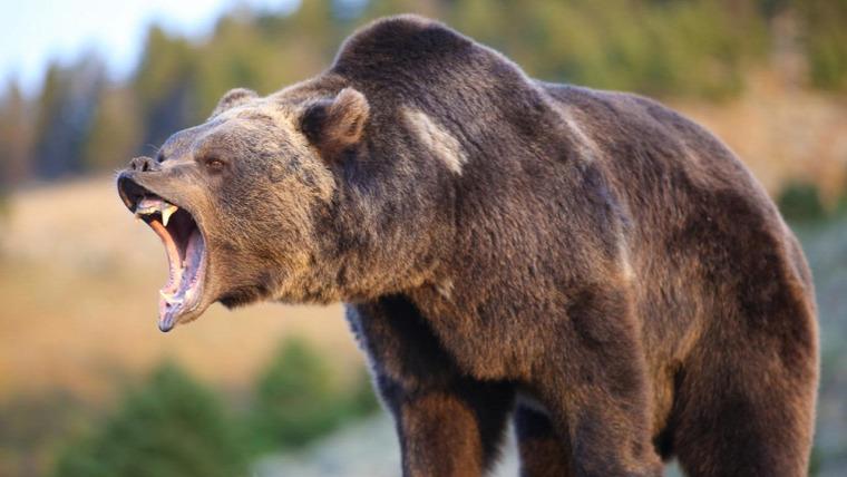 hírek vadvilág medve