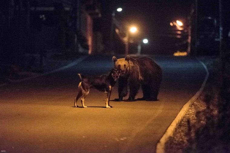 hírek vadvilág Erdély Románia medve farkas aranysakál hód