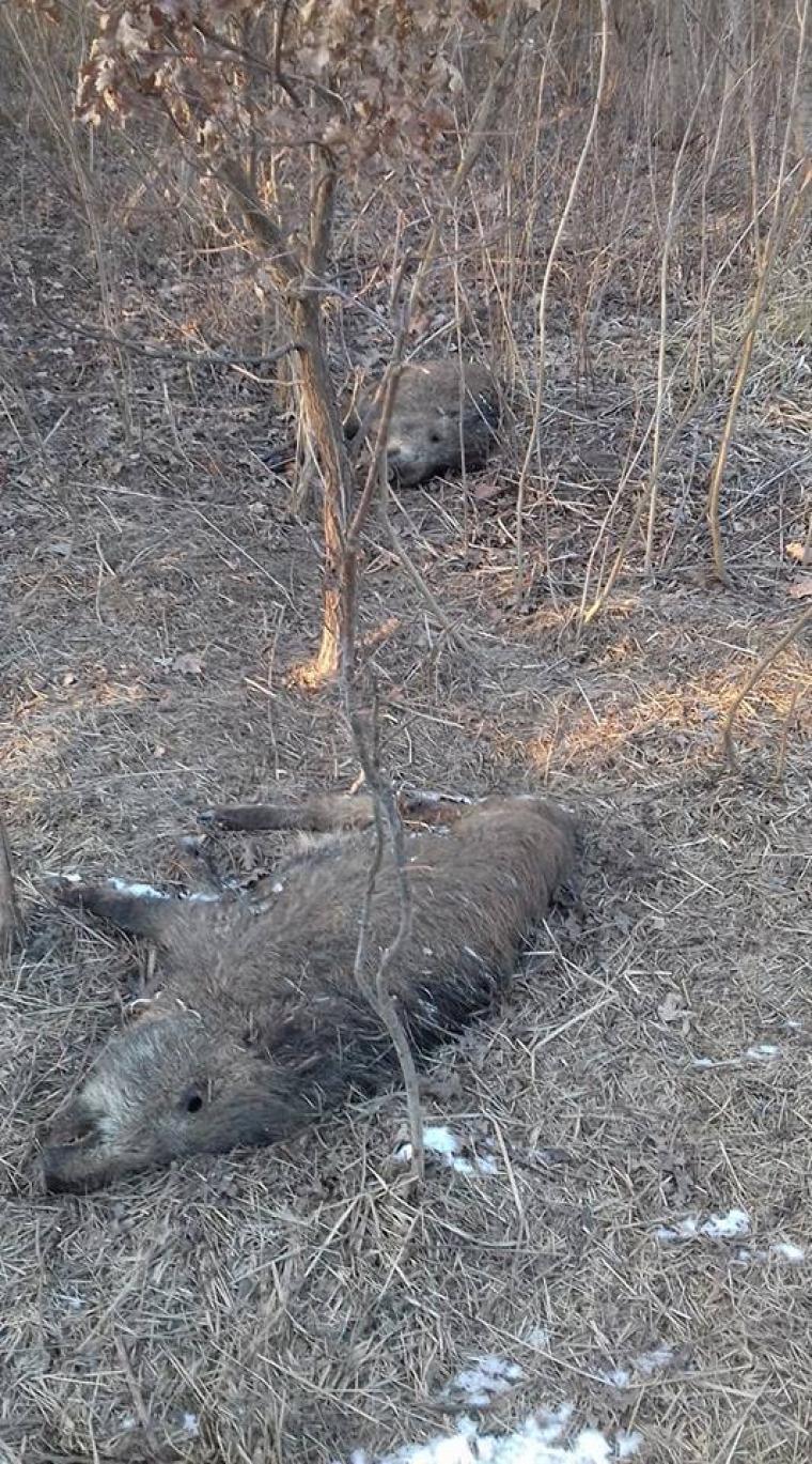 hírek afrikai sertéspestis NÉBIH vaddisznó