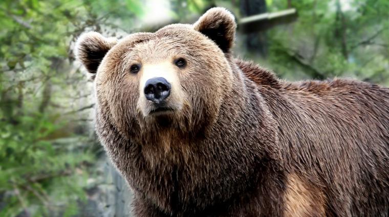 hírek vadvilág medve Erdély