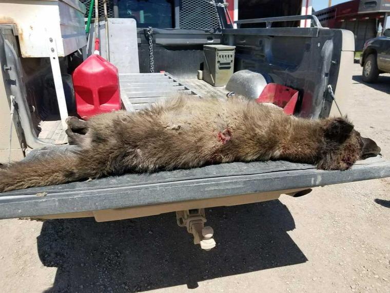 hírek vadvilág Kanada farkas