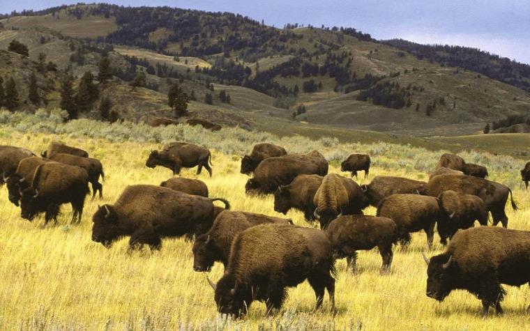 USA hírek vadvilág bölény