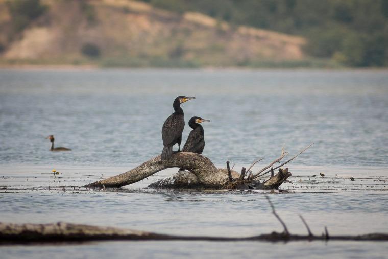 vadászat kormorán kárókatona vad madár Tisza ritkítás hírek
