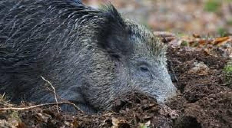hírek vadvilág NÉBIH veszettség gümőkór sertéspestis