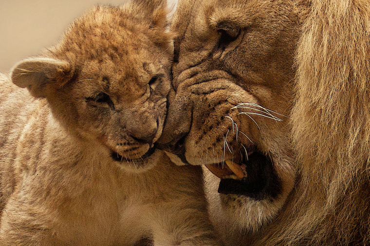 hírek vadvilág oroszlán orvvadász