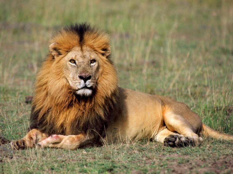 hírek vadvilág oroszlán