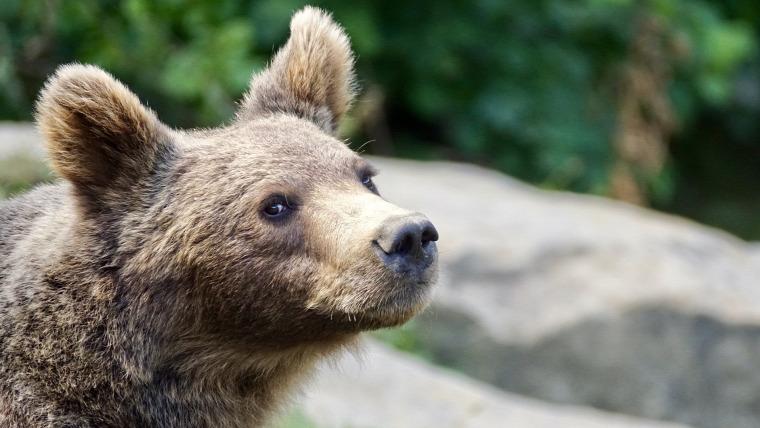 medve hírek vadvilág