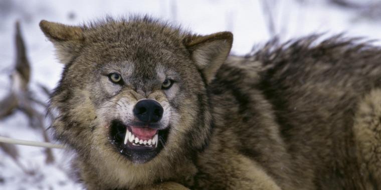 hírek vadvilág farkas