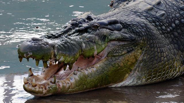 hírek krokodil