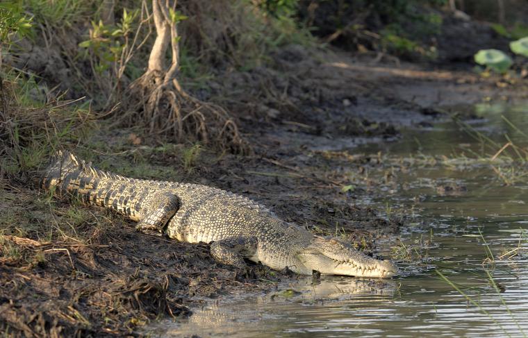 hírek vadvilág krokodil Ausztrália