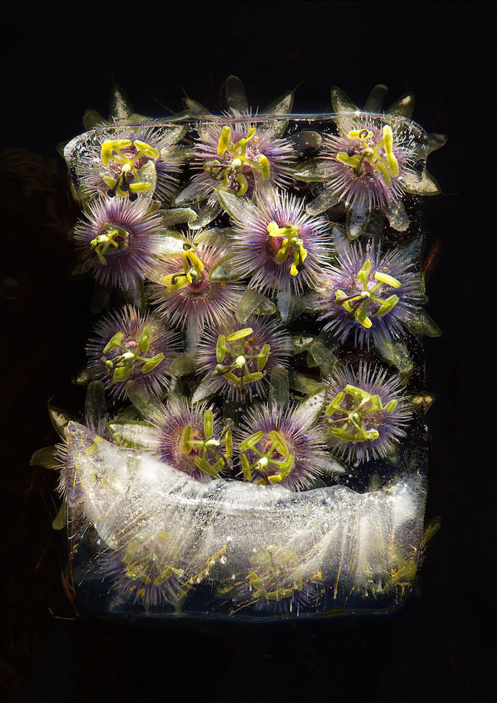 jégbe fagyasztott fotó fotóművészet érdekes virág Bruce Boyd