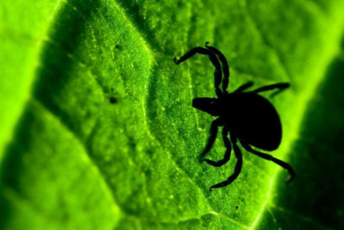 egészség egészségünkre kullancs Lyme-kór tünetek test