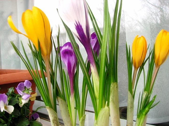 balkon tavasz virág árvácska