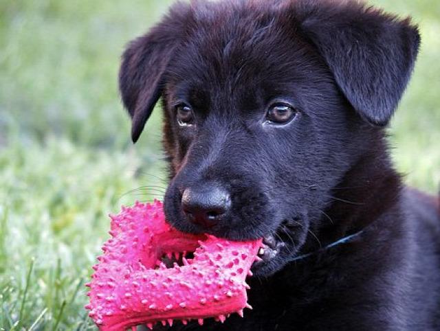 kutyatartás kölyök szobatisztaság nevelés séta