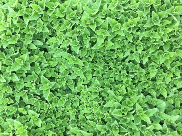 fűszernövények gyógynövények kert