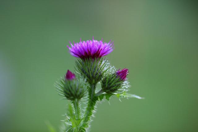 a máj védelme máriatövis gyógynövény egészség
