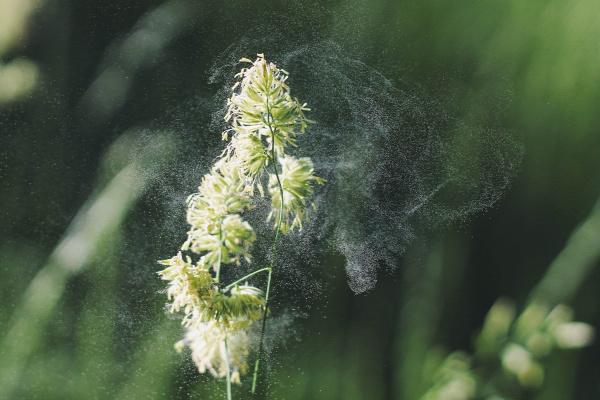 allergia pollen parlagfű