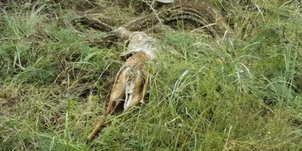 antilop afrikai sziklapiton hányás