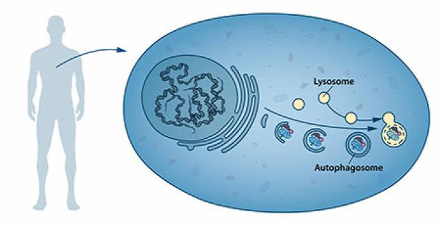 Hunter-szindróma Fabry-kór Gaucher-kór glukocerebrozidáz-defektus alfa-galaktozidás-defektus mukopoliszacharidózis II irudonát-2-szulfatáz lizoszomális tárolási betegségek Nobel-díj 2016 Yoshinori Ohsumi autofágia molbiol