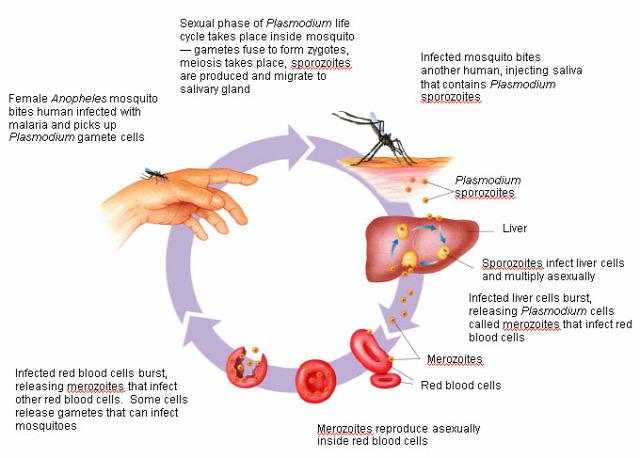 génterápia tudomány humángenetika CRISPR cas9 duchenne-disztrófia malária szúmyog biológiai fegyver gene drive