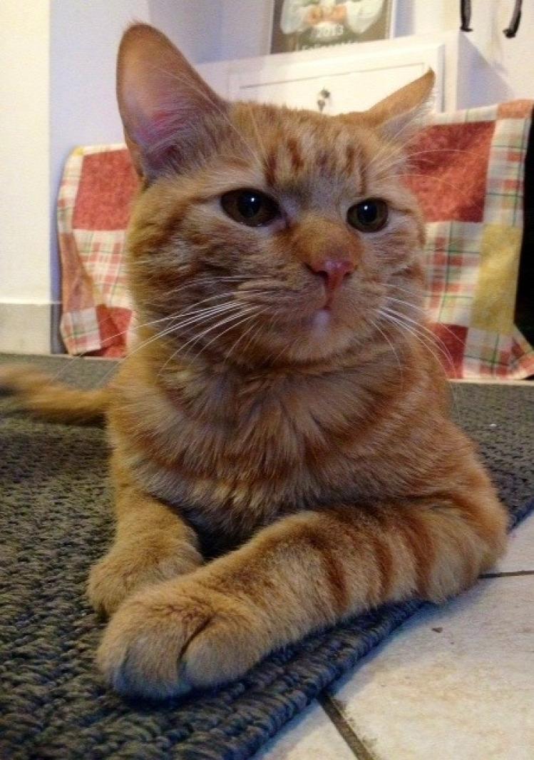 Tünde macska állat