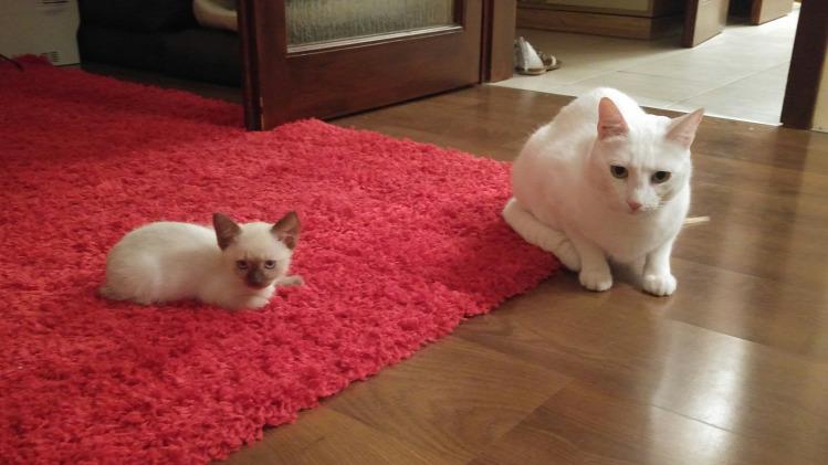 Tünde család macska