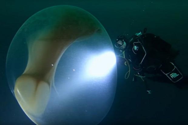 tintahal pete tenger hólyag gömb
