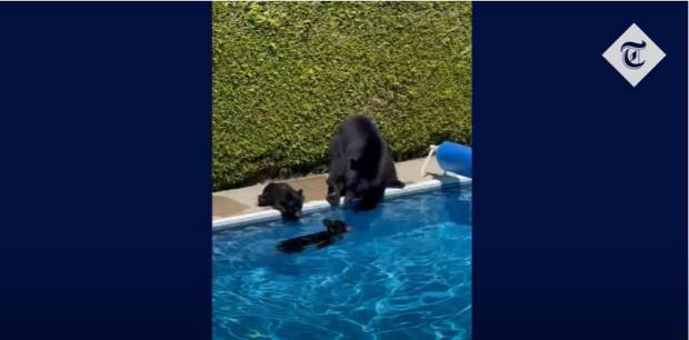medve kánikula fürdés Kanada