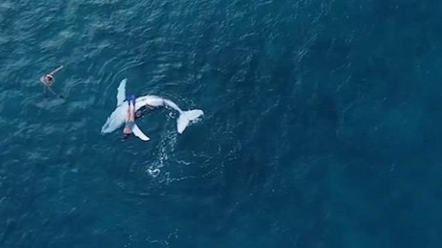 úszás úszó bálna borjú