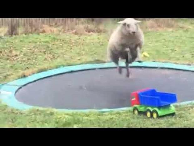 bárány  trambulin ugrás