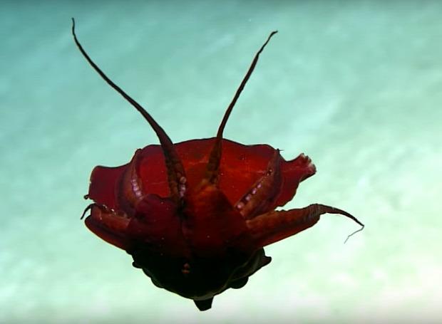 polip bizarr furcsa mélytengeri mexikói-öböl