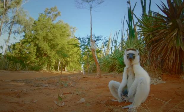 szikafa majom ugrál tánc