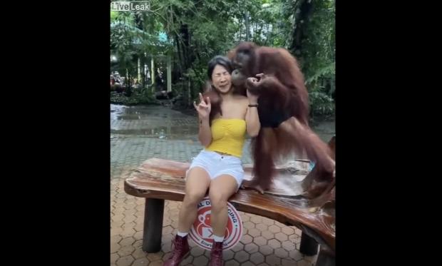 majom fotó orángután