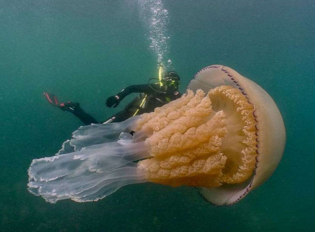 medúza óriás búvár