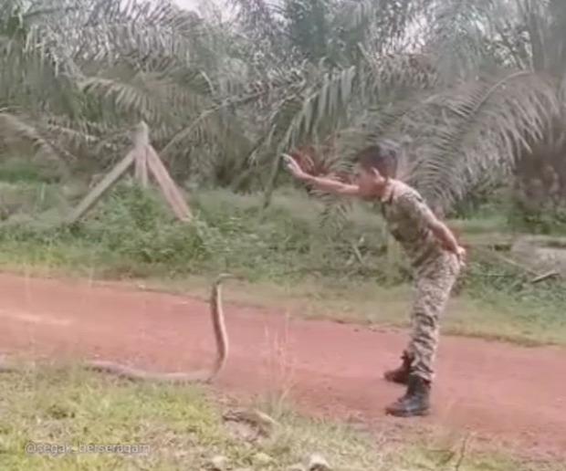 király kobra