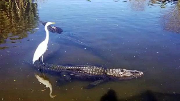 madár  szurf krokodil kócsag